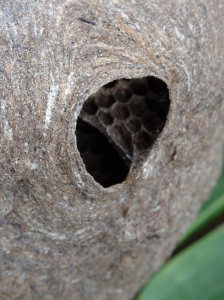 Paper wasps create their homes by 3D printing biodegradable waterproof material from chewed up wood and saliva.